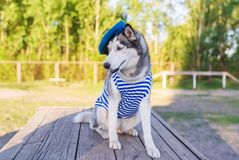 Huskies dog dressed in a marine uniform on the background outdoors Royalty Free Stock Images