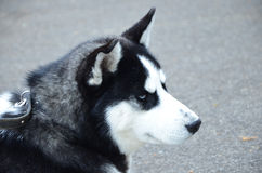 Huskies. Dog on the exhibition Royalty Free Stock Photos
