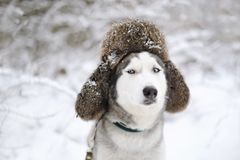 Huskies dog with fur cap with ear flaps. Closeup portrait Royalty Free Stock Image
