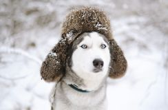 Huskies dog with fur cap with ear flaps. Closeup portrait Stock Image