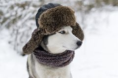 Huskies dog with fur cap with ear flaps. Closeup portrait Royalty Free Stock Photography