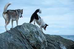 Huskies dogs climbing over the rocks Royalty Free Stock Image