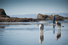 Huskies dogs taking a walk with a woman. In beach of Ruby Beach, Olympic National Park,Washington State, USA Stock Images