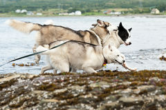 Huskies dogs Royalty Free Stock Image