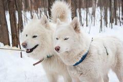 Huskies Arkivfoto