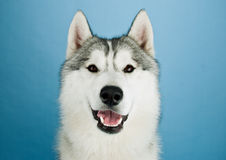 Huskies good Royalty Free Stock Photography