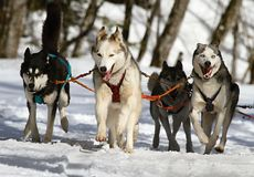 Huskies, Husky, Blue Eye, Dog, Snow Stock Photos