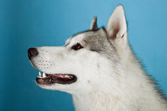 Huskies Royalty Free Stock Images