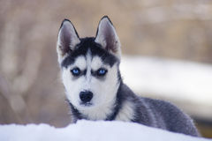 Huskies. Husky lying in the middle of a snowdrift Stock Image