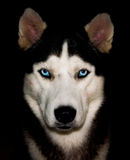 Huskies Royalty Free Stock Image
