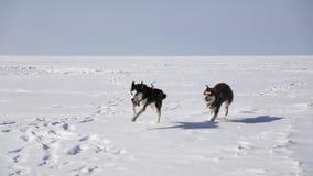 Huskies kör på den djupfrysta fjärden stock video