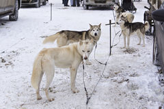 Huskies in Karelia waiting sled race Royalty Free Stock Photography
