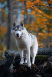 Huskies - king of the hill Royalty Free Stock Photo