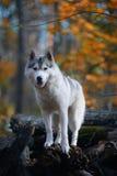 Huskies - koning van de heuvel Royalty-vrije Stock Foto