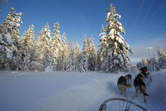 Huskies in Lapland Royalty Free Stock Photos