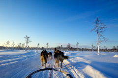 Huskies in Lapland Royalty Free Stock Images