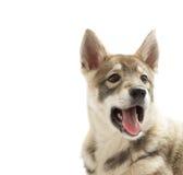 Huskies muzzle Stock Photos