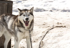 Huskies in nursery for dogs Stock Photography