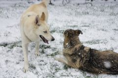 Huskies Playing in the Snow Royalty Free Stock Photo