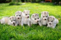Huskies Stock Image