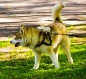 huskies Raças do cão dos cães de puxar trenós Retrato de um cão de estimação Um favorito de Imagens de Stock