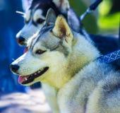 huskies Raças do cão dos cães de puxar trenós Retrato de um cão de estimação Um favorito de Fotografia de Stock Royalty Free