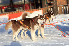 Huskies resting on a snow Royalty Free Stock Photography