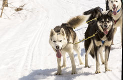 Huskies running in a team in the spring Stock Photography
