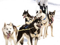Huskies running in a team in the spring Stock Photo