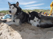 Huskies sleeping beach Royalty Free Stock Photo