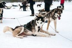 Huskies som är klara för släderitten arkivbild