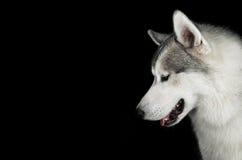 Huskies som ner ser Royaltyfri Foto