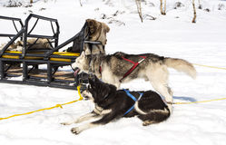 Huskies in a team have a rest near sledge Stock Photo