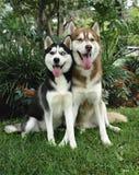 huskies två Arkivbild