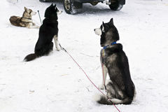 Huskies are waiting for dog race of stage of World Cup in Karelia Royalty Free Stock Photo