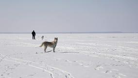 Huskies are walking on the frozen bay. In winter stock video footage