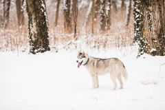 Huskies in the white snow. Lovely siberian dog - husky, snands near the winter forest Royalty Free Stock Photos