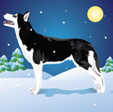 Huskies in the winter woods. Vector dog breed Siberian Husky in winter forest Royalty Free Stock Photography