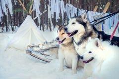 Huskies, Yakut χρόνος εξόδων Malamutes υπαίθρια στο Lapland Φινλανδία Στοκ εικόνες με δικαίωμα ελεύθερης χρήσης