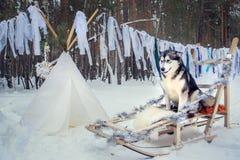 Huskies Yakut Malamutes som utomhus spenderar tid i Lapland Finland Arkivfoto