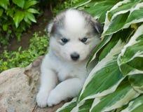 Huskimo Puppy Stock Photography