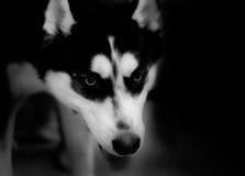 Husky. Low key royalty free stock image