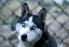 husky Imagem de Stock Royalty Free