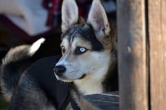 husky royalty-vrije stock fotografie