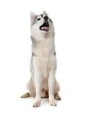 Husky Royalty Free Stock Photos