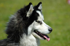 Husky Royalty Free Stock Image