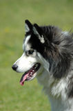 Husky royalty free stock photos