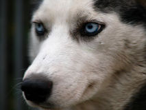 Husky. Dog detail of face with beautiful blue eyes Stock Image