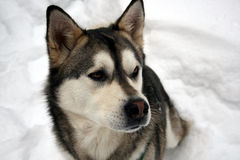 Husky. Dog, in the snow 2 Royalty Free Stock Photography