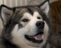 husky Royaltyfria Bilder